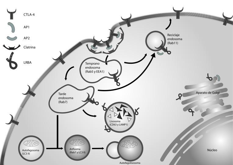 LRBA en la regulación del tráfico vesicular.CTLA-4 es un receptor situado en la membrana de los linfocitos T activados. Este receptor es internalizado en vesículas recubiertas de clatrina mediante su interacción con AP2. LRBA regula el reciclaje de CTLA-4 desde los endosomas a la membrana celular, impidiendo su degradación en los compartimentos lisosomales. Los procesos de autofagia también necesitan de las vesículas endocíticas. LRBA se encuentra ubicado en estas vesículas y podría interaccionar con moléculas aún no identificadas para facilitar la fusión entre el autofagosoma y el endosoma tardío.